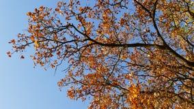 秋天风景橡木染黄了叶子 免版税库存图片