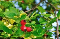 秋天风景用明亮的成熟野玫瑰果莓果 免版税图库摄影