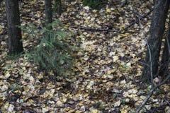 秋天风景秋天有光秃的树和干燥下落的五颜六色的叶子的公园胡同 免版税库存照片