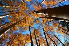 秋天高大的树木 免版税库存图片
