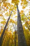 秋天高大的树木 库存图片