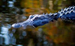 秋天鳄鱼 库存图片