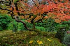 秋天鸡爪枫结构树 库存照片