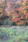 秋天鸭子 库存图片