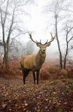 秋天鹿有雾的森林横向红色雄鹿 库存图片