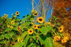 秋天黄绿向日葵的一个小种植园在一个美丽的农村草甸的 库存照片
