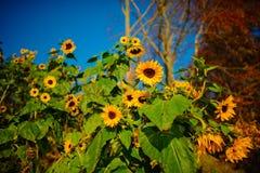 秋天黄绿向日葵的一个小种植园在一个美丽的农村草甸的 库存图片