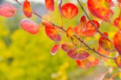 秋天黄色和红色叶子 白杨木 俄罗斯中部的本质 免版税库存图片
