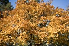 秋天黄色在晴天把背景留在 库存照片