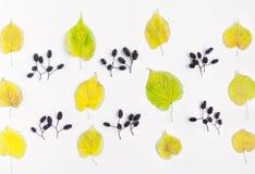 秋天黄色在白色背景离开和桤木坚果的样式 顶视图,平的位置,看法从上面 库存图片