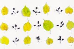 秋天黄色在白色背景离开和桤木坚果的样式 顶视图,平的位置,看法从上面 库存照片