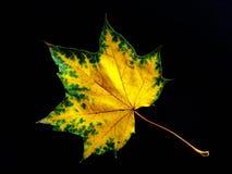 秋天黄色maplr叶子 库存图片