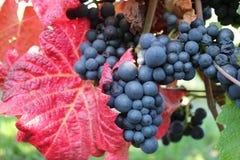 秋天黑色葡萄树 库存图片