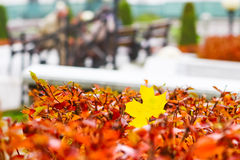 秋天,在灌木的黄色叶子 免版税库存图片