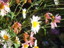 秋天,晴天 菊花在庭院里 库存图片