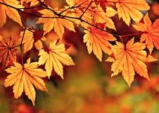 秋天,槭树叶子 免版税库存图片