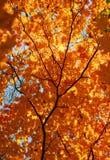 秋天,槭树,金黄叶子 免版税库存照片