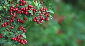 秋天,红色山楂树莓果 免版税库存图片