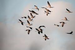 秋天,群起重机(粗碎屑粗碎屑)在飞行中 水平 库存照片