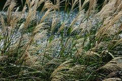 秋天 反对河背景的Miscanthus  免版税图库摄影