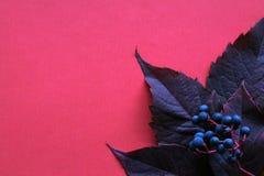 秋天 叶子用在桃红色背景的莓果 库存图片