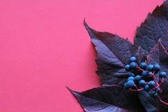 秋天 叶子用在桃红色背景的莓果 免版税库存照片