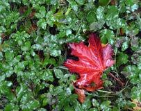 秋天 在一棵草的一片红槭叶子在雨中 图库摄影