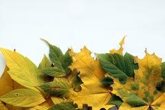 秋天 在白色背景的黄色和绿色叶子 库存图片