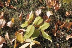 秋天 在绿色背景的黄色和绿色叶子 库存图片