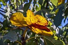 秋天 在counterlight的黄色无花果树叶子 库存图片