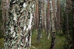 秋天10月桦树森林 免版税库存照片