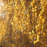 秋天晴朗的抽象背景,叶子分支树 免版税库存照片