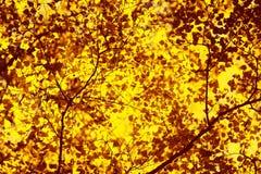 秋天晴朗的背景,阳光通过树黄色叶子发光 图库摄影