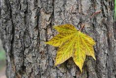 秋天 查出的叶子槭树 免版税库存图片