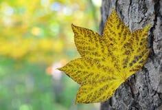 秋天 查出的叶子槭树 库存图片
