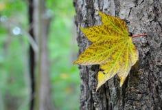 秋天 查出的叶子槭树 库存照片