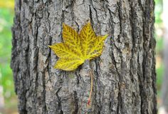 秋天 查出的叶子槭树 免版税库存照片