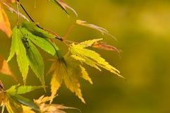 秋天-槭树 库存图片