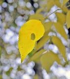 秋天 灰树的偏僻的黄色叶子 免版税库存照片