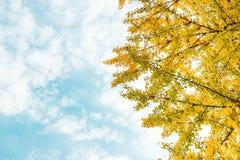 秋天 秋天银杏树叶子和秋天天空 库存照片