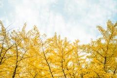 秋天 秋天银杏树叶子和秋天天空 免版税库存照片