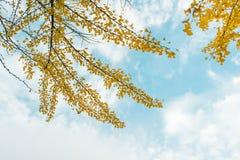 秋天 秋天银杏树叶子和秋天天空 免版税库存图片