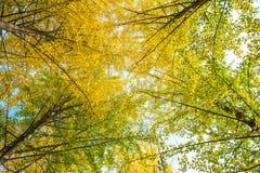 秋天 秋天银杏树叶子和秋天天空 免版税图库摄影