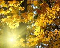 秋天黄色叶子和太阳 免版税库存照片