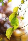 秋天绿色叶子 库存图片