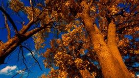 秋天黄色槭树叶子 影视素材