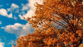 秋天黄色槭树叶子 股票视频