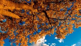 秋天黄色槭树叶子 股票录像