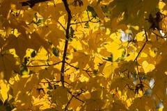 秋天黄色槭树离开背景 免版税库存照片