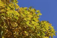 秋天黄色橡木叶子 库存照片